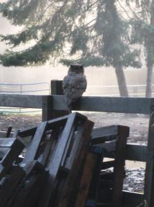 Owl on Fence